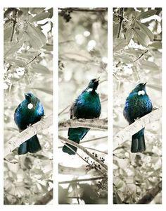 TUI SONG' (vertical triptych) - NZ Tui birds print (canvas wall art / framed photo) - Creative NZ photography & art by Lucy G