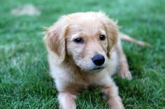 aaahhhh! Golden Retrievers are the cutest dogs ever!!!