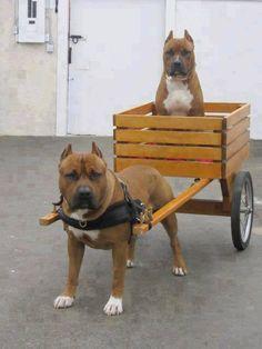 #pitbull #Dog