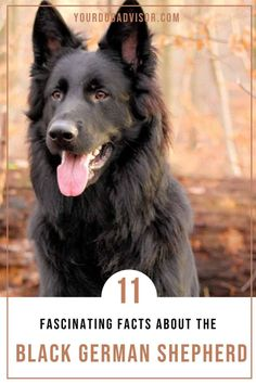 The black German Shepherd is more than just a gorgeous color variation of one of the world's most coveted canines. In fact, this rare and intelligent purebred is also a loyal companion and service dog. Black German Shepherd Puppies, German Shepherd Breeds, German Shepherds, Black Dog Syndrome, Medium Sized Dogs Breeds, Medium Dogs, Service Dogs, Beautiful Dogs, I Love Dogs