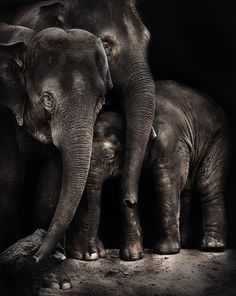 family affair (Mali) by Art X : his is Mali hiding behind the bull elephant along with one of the female elephants of Melbourne zoo. Bull Elephant, Elephant Family, Asian Elephant, Elephant Love, Elephants Never Forget, Save The Elephants, Baby Elephants, Beautiful Creatures, Animals Beautiful