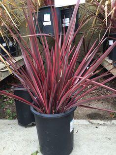 Phormium firebird 2ltr gardening pinterest firebird guardsman phormium new zealand flax thecheapjerseys Gallery