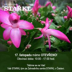 ‼️17. listopadu je v Zahradním centru Starkl OTEVŘENO‼️ Těšíme se na Vaši návštěvu, jsme tu pro Vás od 10 do 17 hodin. #zahradnicentrum #starkl #caslav #zahrada #otevreno #vanoceustarkla #vanoce #floristika #zahradnictvi