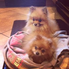 A Pommy Mommy Rescue Story! Luka & Niko Pomeranian Brothers! | Where Mommies of the Pomeranian Breed can gather, socialize and find organic home made dog treats