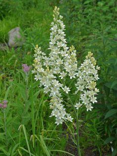 Bunchflower  Melanthium virginicum Late spring- mid summer wet prairies