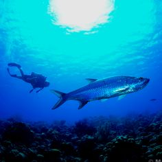 Tarpon fish. Swam with these at night in Bonaire. Look like chrome.
