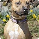 Philadelphia, PA - Pit Bull Terrier/Labrador Retriever Mix. Meet Venus, a for adoption. http://www.adoptapet.com/pet/18023110-philadelphia-pennsylvania-pit-bull-terrier-mix