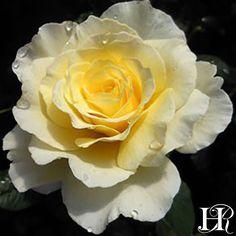 hybrid tea roses bushes planting arrangements – Famous Last Words Exotic Flowers, Diy Flowers, Pretty Flowers, Orange Roses, Red Roses, Floribunda Roses, Heirloom Roses, Planting Roses, Garden Roses