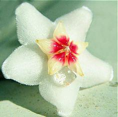 kwiatek hoya carnosa