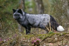 A gorgeous silver fox. Believe it or not, these animals are actually being breed to serve as house pets.