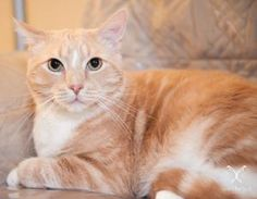 Romeo is an adoptable Tabby - Orange Cat in Nashville, TN. 12-2-12 Hi I'm Romeo! I am a male buff/orange tabby who was found at an apartment complex. I am sweet, gentle and very handsome! I have a mel...