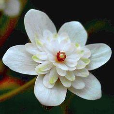 Hepatica japonica 'Sennin' [Family: Ranunculaceae]