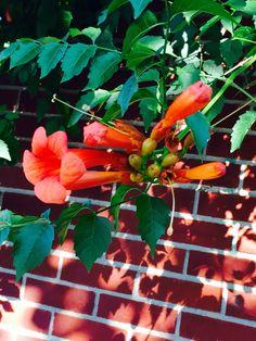 Orange trumpet on brick