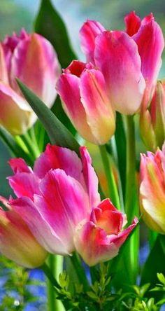 Tulip Tender Whisper