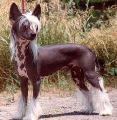 Raças exóticas de cachorro