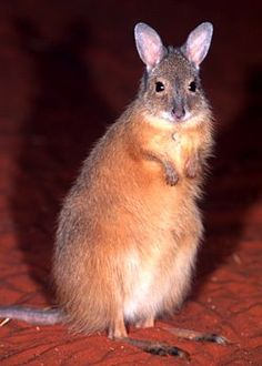 Rufous hare wallaby ... these little critters were once common in central and western Australia.    But a combination of predators, hunting and a loss of habitat means they now only survive on two islands off Western Australia and are classified as endangered.