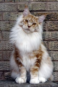 Pretty Ginger Maine coon http://www.mainecoonguide.com/how-to-tell-if-a-kitten-is-a-maine-coon/