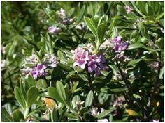Parco del Gargano. Scoperta botanica mondiale: è la Daphne sericea - http://blog.rodigarganico.info/2014/ambiente/parco-gargano-scoperta-botanica-mondiale-daphne-sericea/