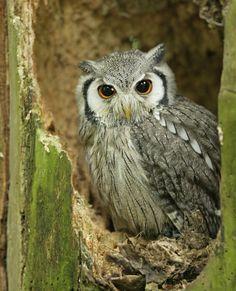 African Scoops Owl