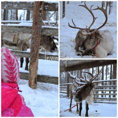 January 2014 Lapland Finland, Goats, January, Animals, Animaux, Animales, Goat, Animal, Dieren