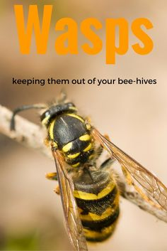 German Wasps - This is an article about how to keep wasps out of your Beehives. German Wasps are known as yellow Jackets in America.: