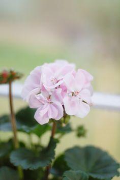 Ꮘretty Ꮘink geranium