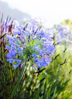 at Delaire Graff Estate South African Wine, Agapanthus, Wines, Dandelion, Gallery, Flowers, Plants, Summer, Gardens