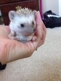 Pin By Kaua Milfont On Facebook Pinterest Hedgehogs Adorable - This instagram account will satisfy your addiction for adorable hedgehogs