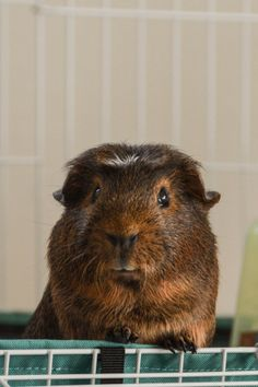 tuffytufftuffteddypippaleena the brown guinea pig.