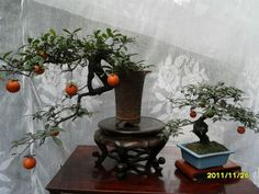 Bonsai Fruit Tree, Mini Bonsai, Bonsai Art, Fruit Trees, Miniature Trees, Flower Pots, Flowers, Water Garden, Ikebana