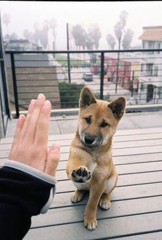 Akita high five