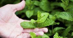recept, matovy liker, Máta perpná je vytrvalá bylina, která vyniká svými aromatickými a zklidňujícími účinky.