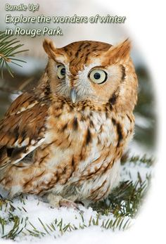 Amazing Photo Gallery about Owls. Screech Owl In a Snow Field. Owl Bird, Bird Art, Owl Facts, Animals And Pets, Cute Animals, Lion Cat, Screech Owl, Parks Canada, Urban Park