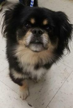 Odis is an adoptable Pekingese searching for a forever family near St. Paul, MN. Use Petfinder to find adoptable pets in your area.