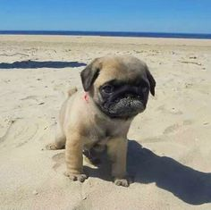 "Learn more information on ""pug puppies"". Check out our website. Cute Baby Pugs, Cute Pug Puppies, Black Pug Puppies, Cute Baby Animals, Dogs And Puppies, Funny Animals, Terrier Puppies, Bulldog Puppies, Boston Terrier"