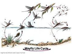 Cabela\'s Fly Fishing University: Entomology