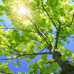 The Sacred Sycamore