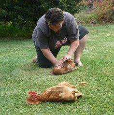 "Wondering how to hypnotize a chicken? Learn two easy ways to calm birds: the oscillating finger method or sternum stroke method. I had one chicken that would lay out like this every time I reached to pet her. I called her ""My Fainting Chicken. Chicken Life, Chicken Runs, Chicken Facts, Chicken Ideas, Chickens And Roosters, Pet Chickens, Rabbits, Keeping Chickens, Raising Chickens"