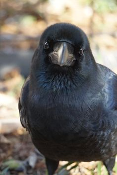 Owl, Wolf and Raven Fluffy Animals, Animals And Pets, Celtic Raven, Most Beautiful Birds, Jackdaw, Crows Ravens, Australian Animals, Bird Pictures, Cute Funny Animals