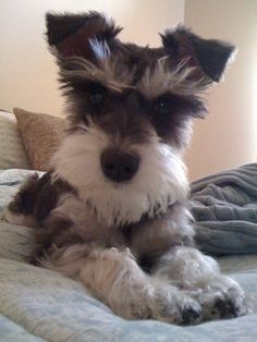 Im a Schnauzerholic, this ones just adorable! He looks exactly like Barkley but with floppy ears!  Link: https://www.sunfrog.com/search/?64708&search=schnauzer&cID=62&schTrmFilter=sales