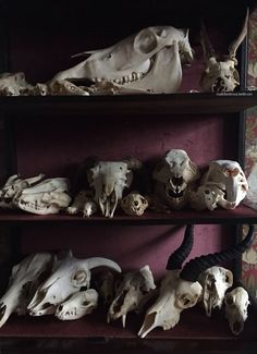 A Curated Miscellaneum, roadkillandcrows: My skull cabinet. Spooky House, Animal Bones, Modern Love, Animal Skulls, Skull And Bones, Memento Mori, Skull Art, Macabre, Natural History