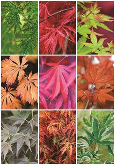 Gardening Autumn - 9 Japanese Maple Trees for Fall Color - With the arrival of rains and falling temperatures autumn is a perfect opportunity to make new plantations Deciduous Trees, Trees And Shrubs, Trees To Plant, Garden Trees, Garden Plants, Gardening Vegetables, Japanese Maple Tree Care, Japanese Maple Garden, Japanese Gardens