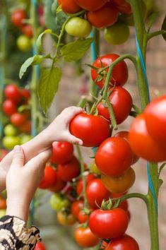 Wonderful: This Elixir Will Make Your Tomatoes To Grow Like A Crazy! #gardeningtomatos