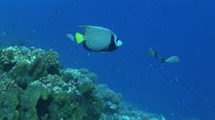 Emperor Angelfish, Stone Coral, Striped (Pattern), Rangiroa, South Pacific, Tropical Fish, Coral Reef, Sea Life, Swimming, 1 (Quantity), No People, Stock Footage,