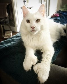 Lady Isadora polydactyl white Maine coon cat