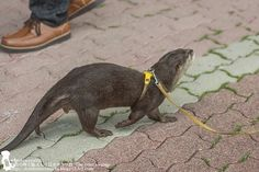 The otter saunter - August 3, 2014