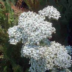 Achillea millefolium, Yarrow. Harvest & preserve the flowers. Hot tea from flowers. Aromatic/Astringent/Diuretic.