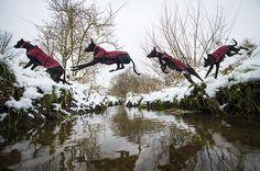 Freeze-framed dogs: Albert the Lurcher jumping over a stream