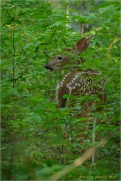 Fawn in Cades Cove campground. by Charlie Choc