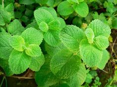 Mint: Mint will normally grow in a bog, so as long as you keep it moist and it gets a little bit of light, you should be able to harvest min...